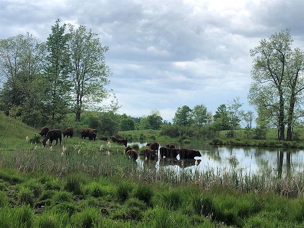 cows in pond 2020.jpg