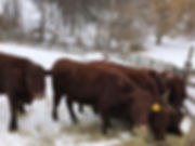 cattle in snow.jpg