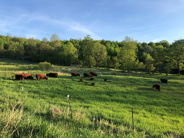 cows 2020.jpg