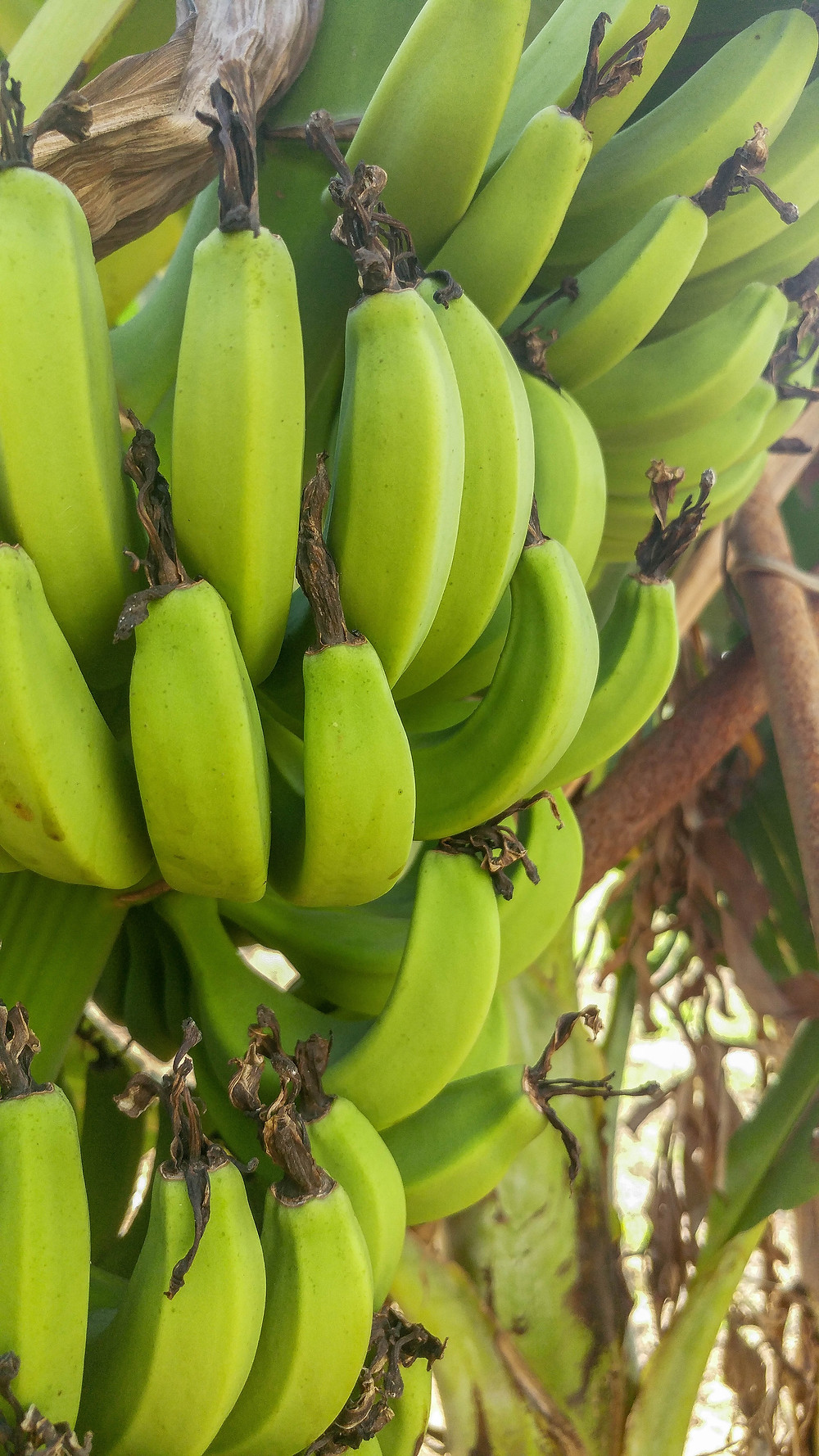 Baby bananas from my uncles garden