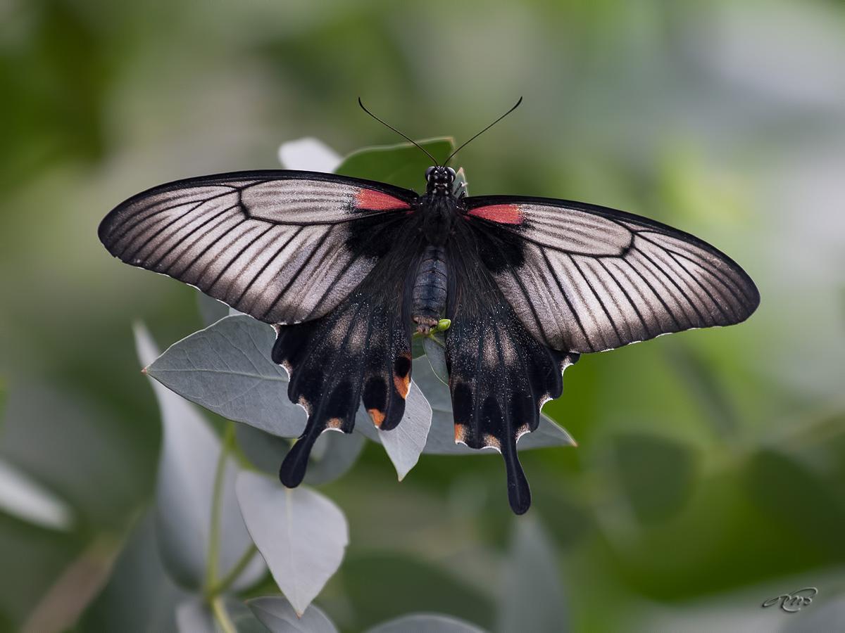 Papilio memnon 2971