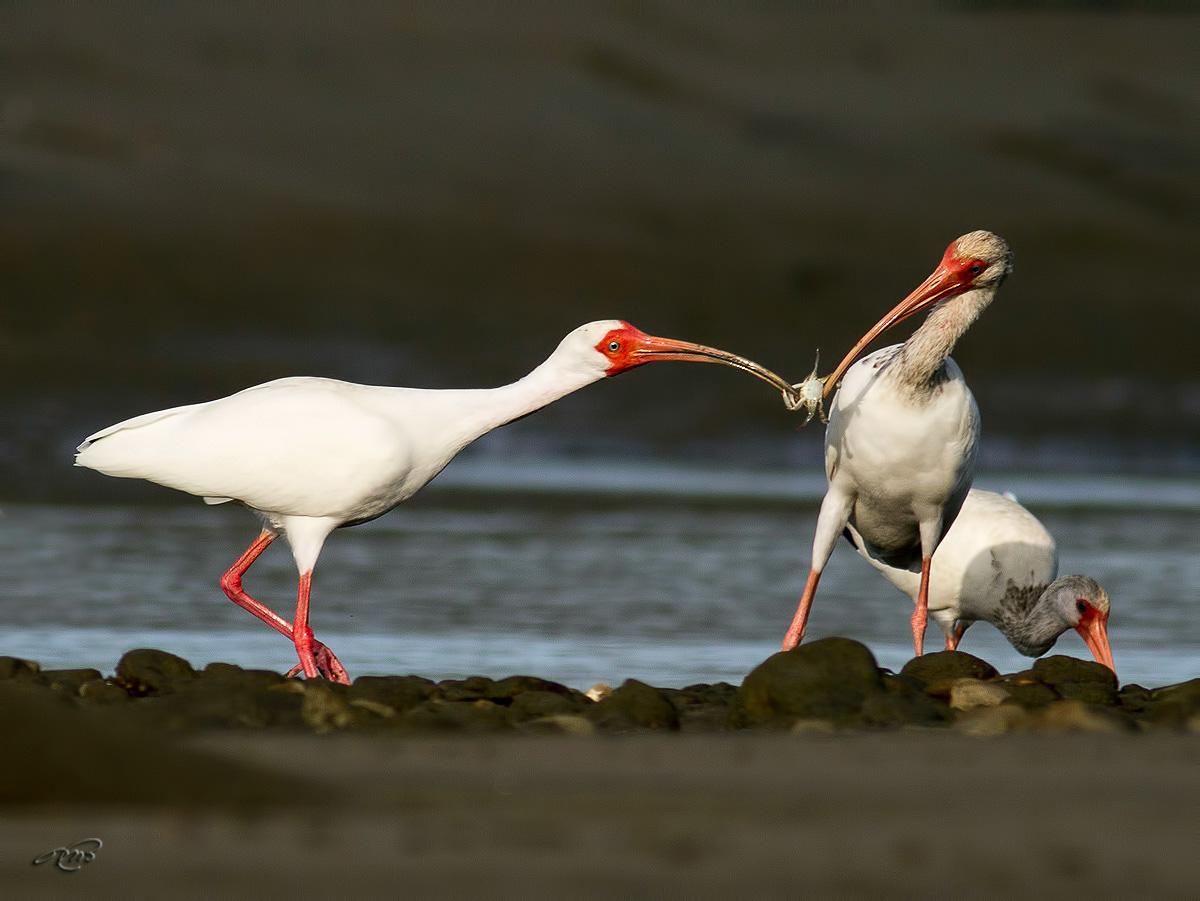 Ibis blanc 5152