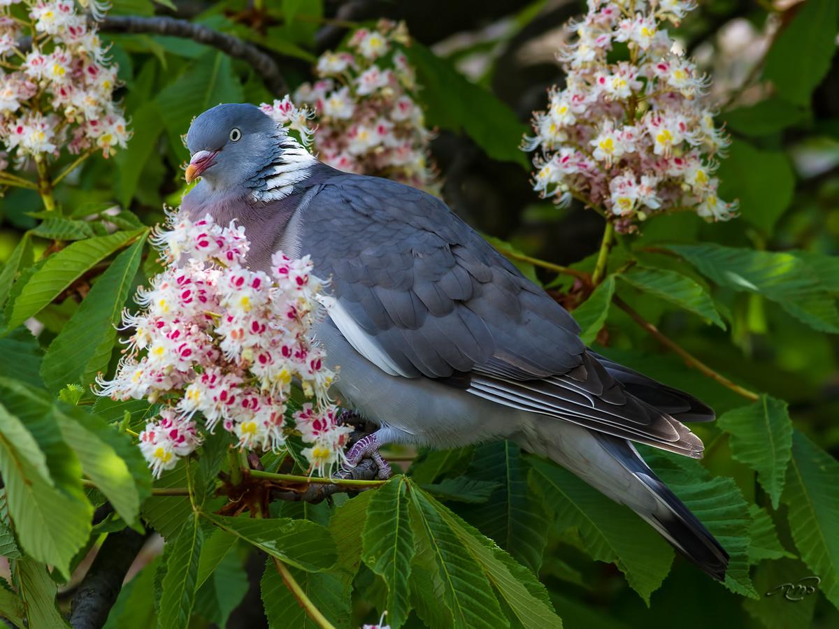 Pigeon ramier 6155