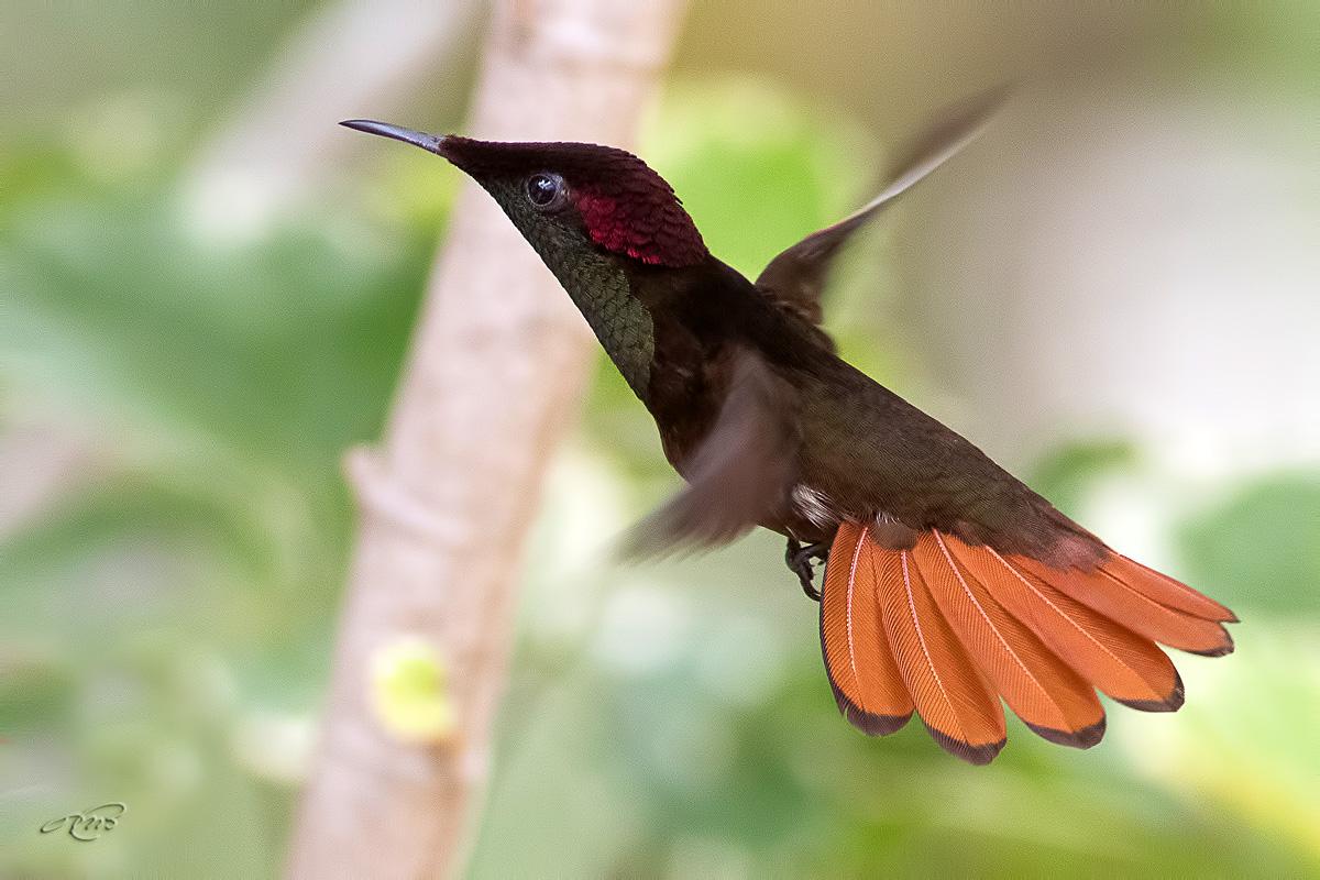 colibri rubis-topaze-1I5A7680
