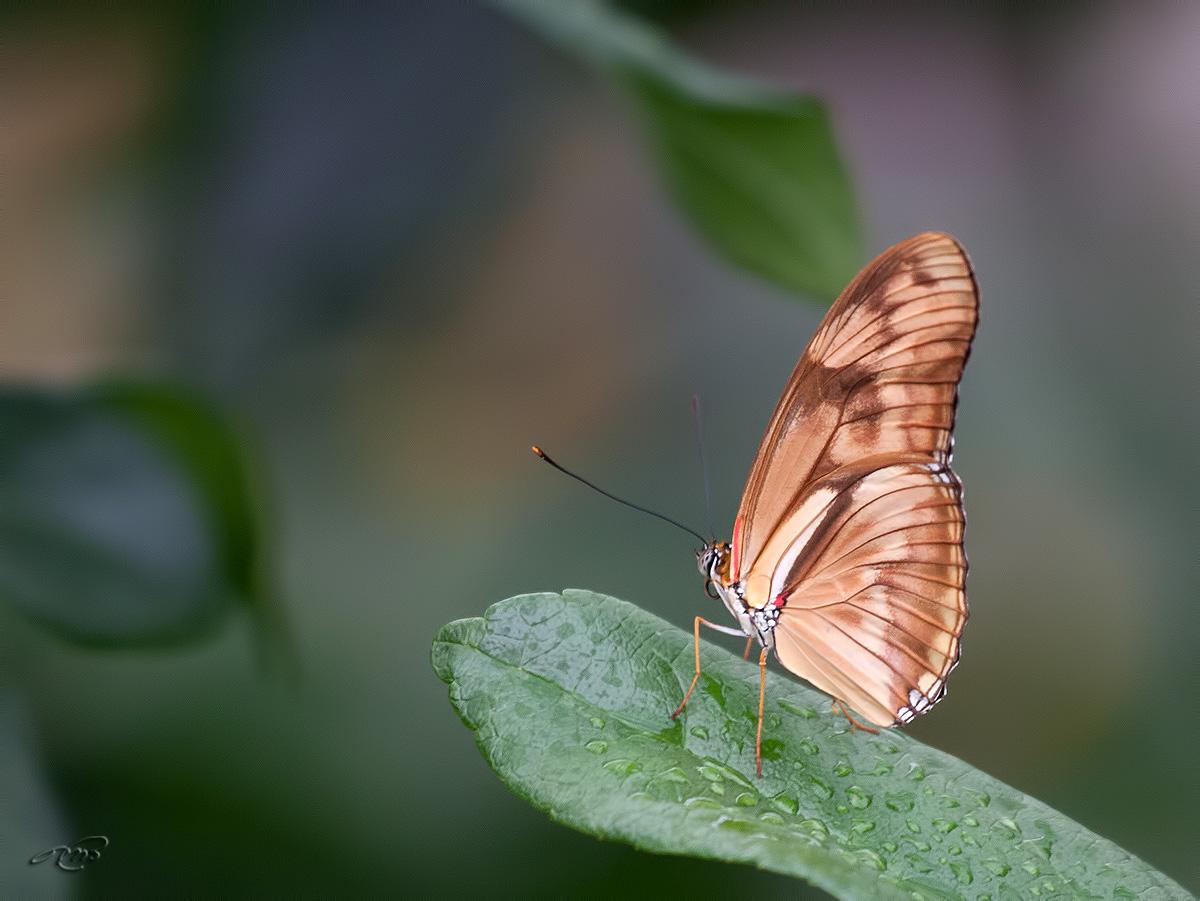 papillon 2990
