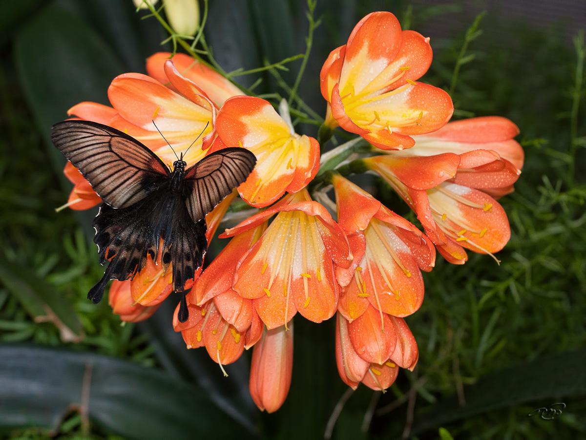 Papillon 2957