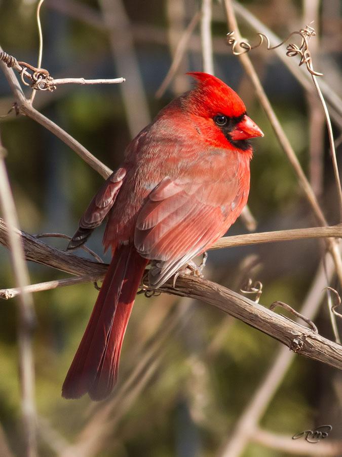 Cardinal rouge 2165
