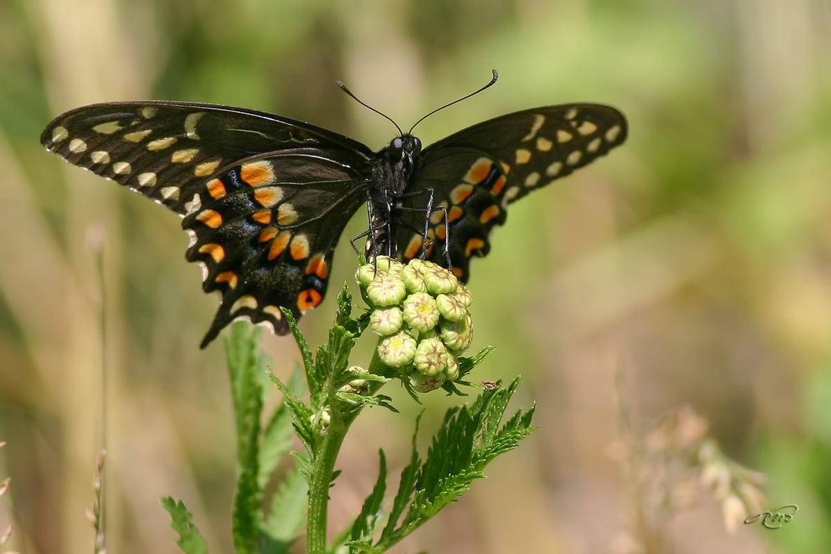 Papillon du céleri 6844