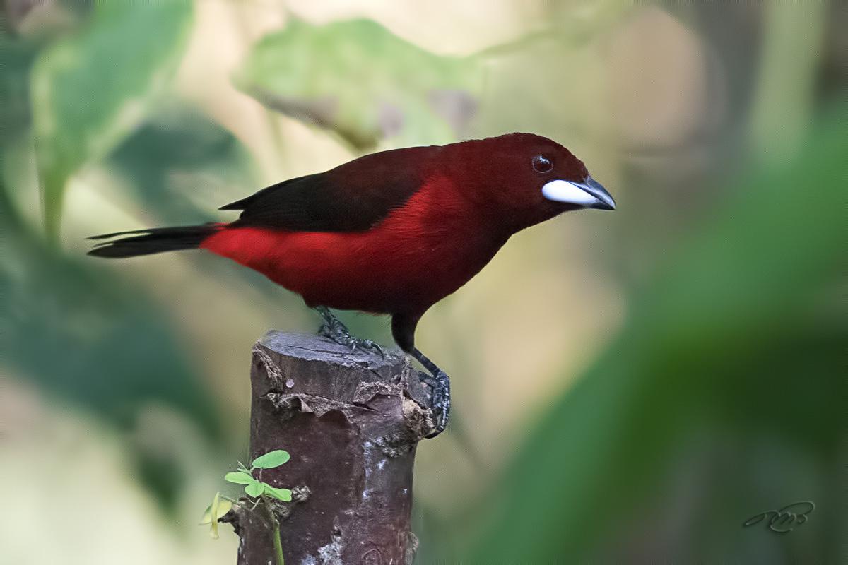 Tangara à dos rouge 2615
