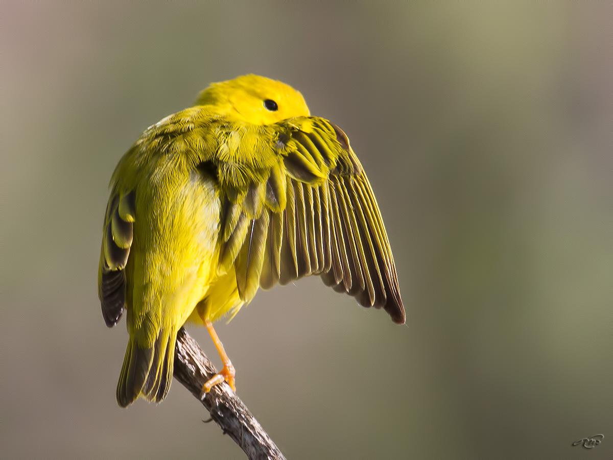 Paruline jaune 4243
