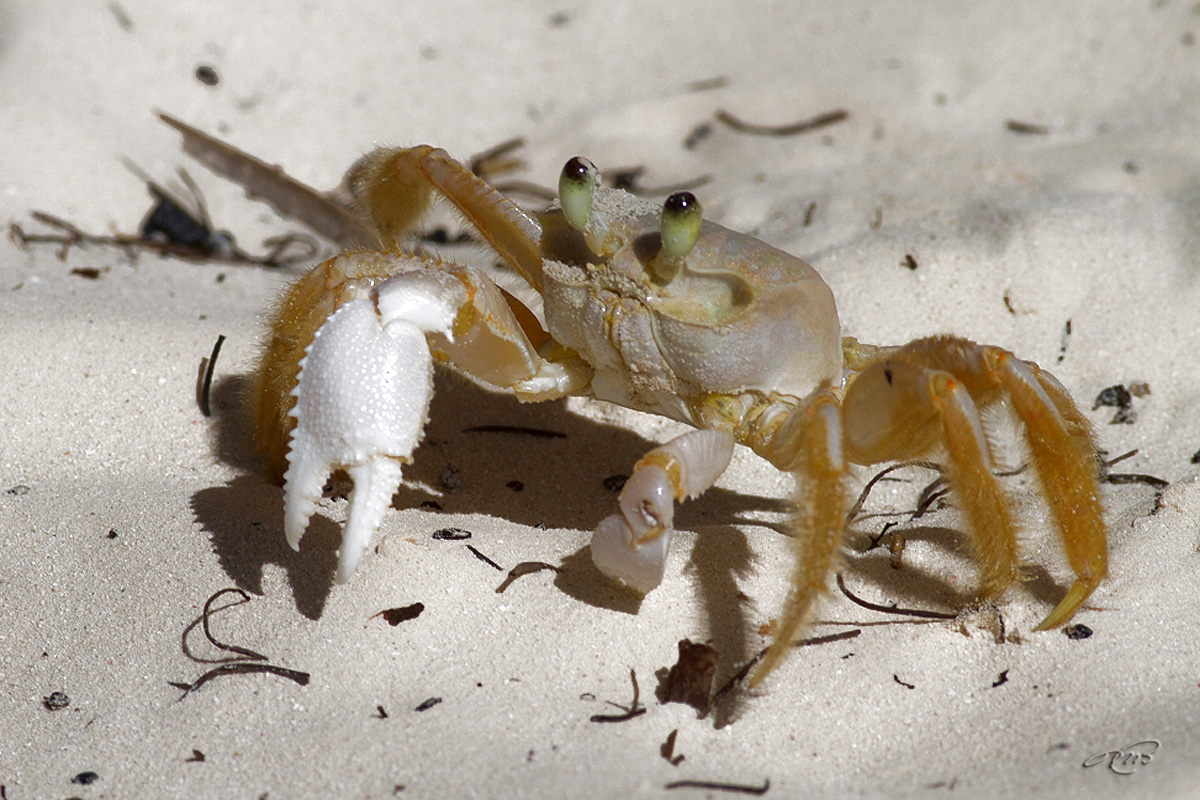 Crabe 2949