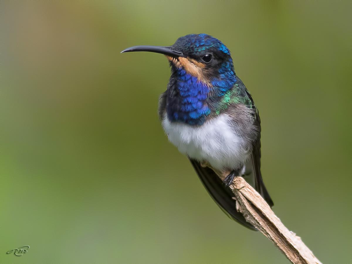 colibri jacobin-1I5A9369