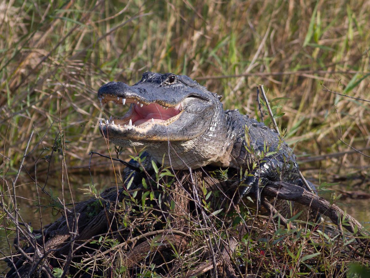 Crocodile 8030