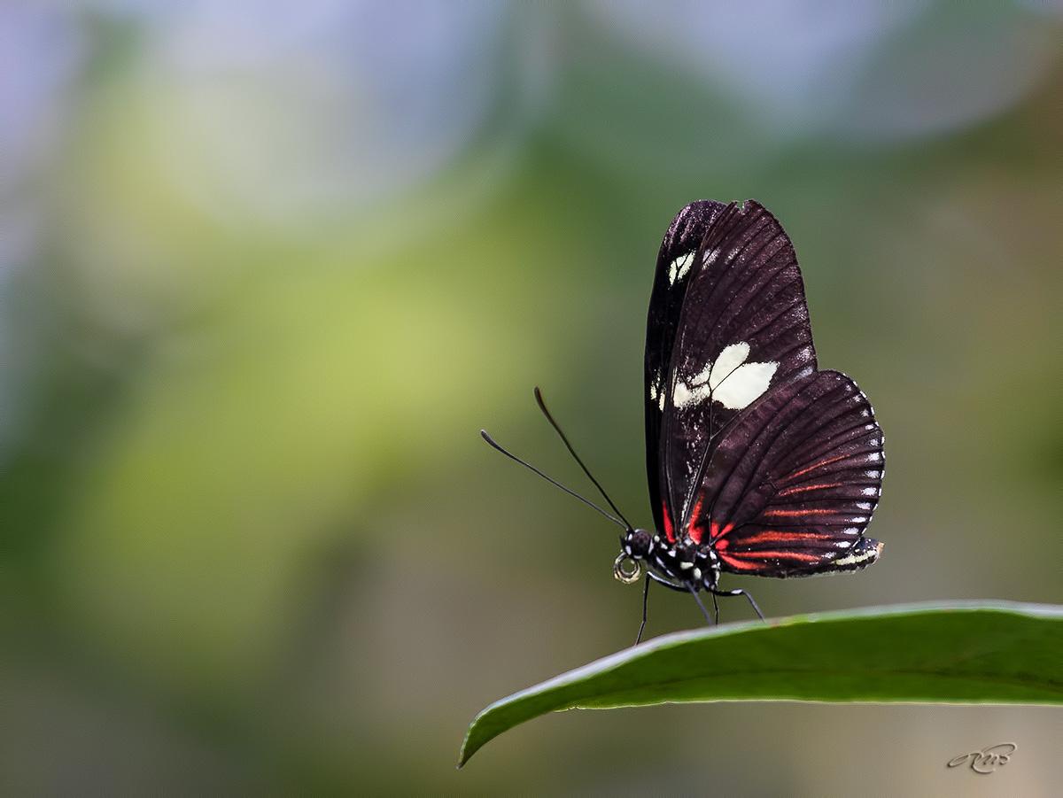 Papillon 3210
