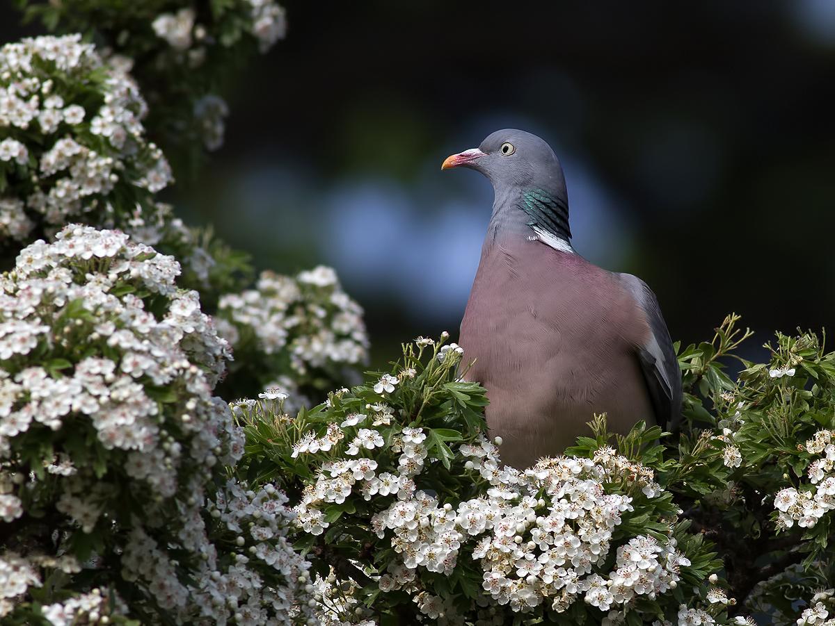 Pigeon ramier 4982