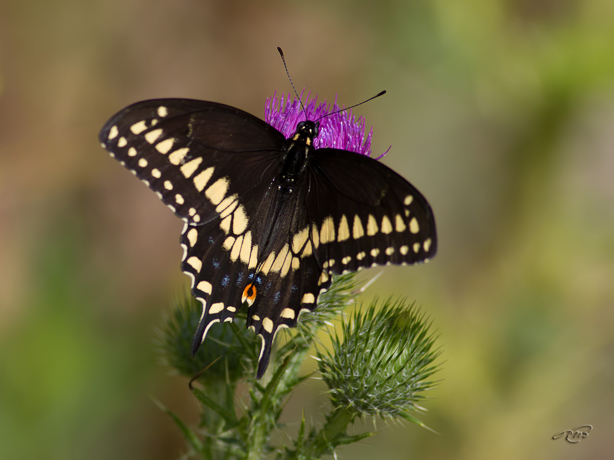 Papillon du céleri 3999
