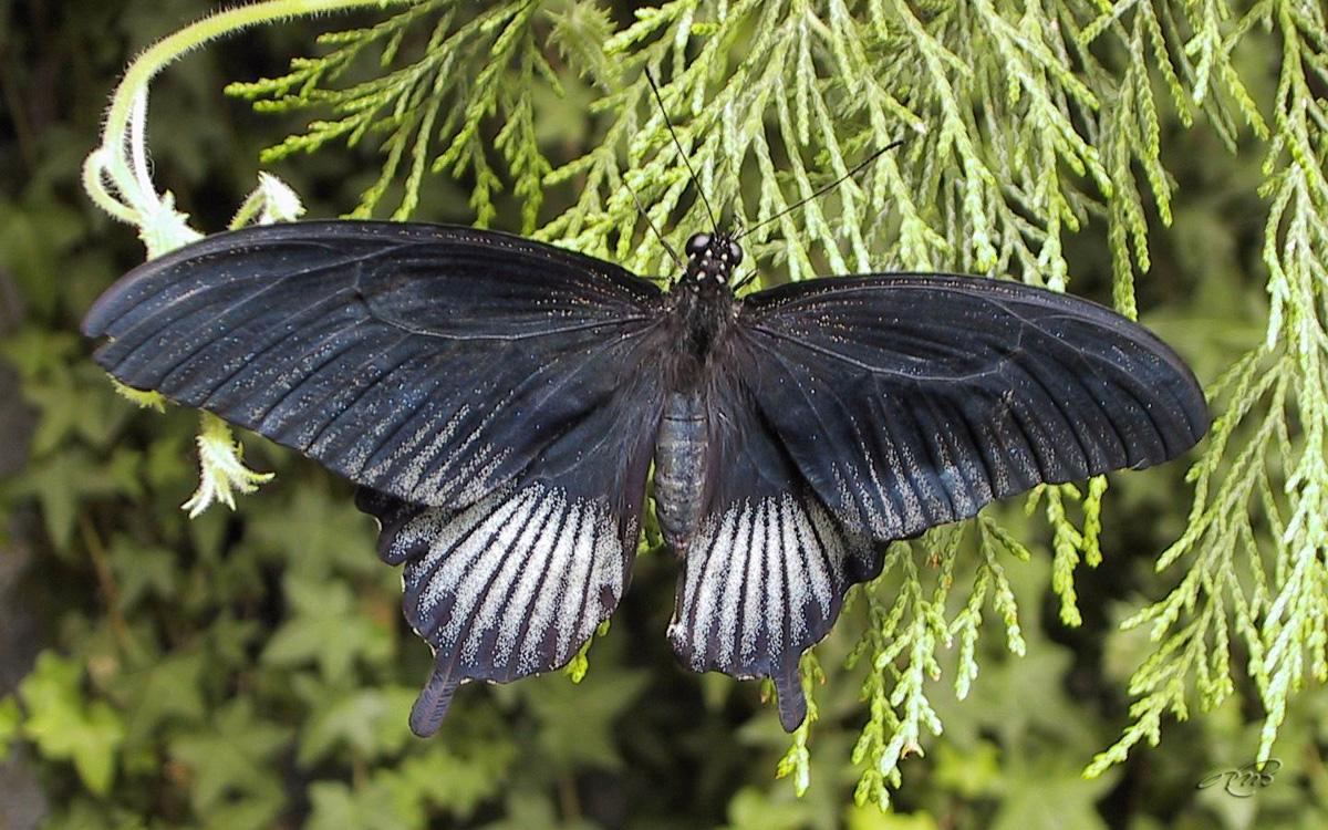 papillon 2119