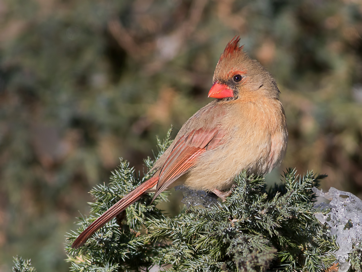 cardinal-1I5A1078