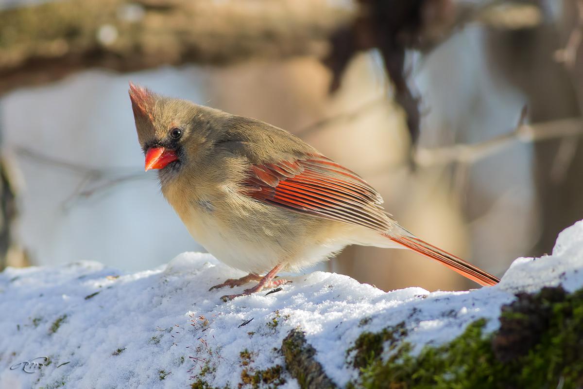 Cardinal rouge 0075