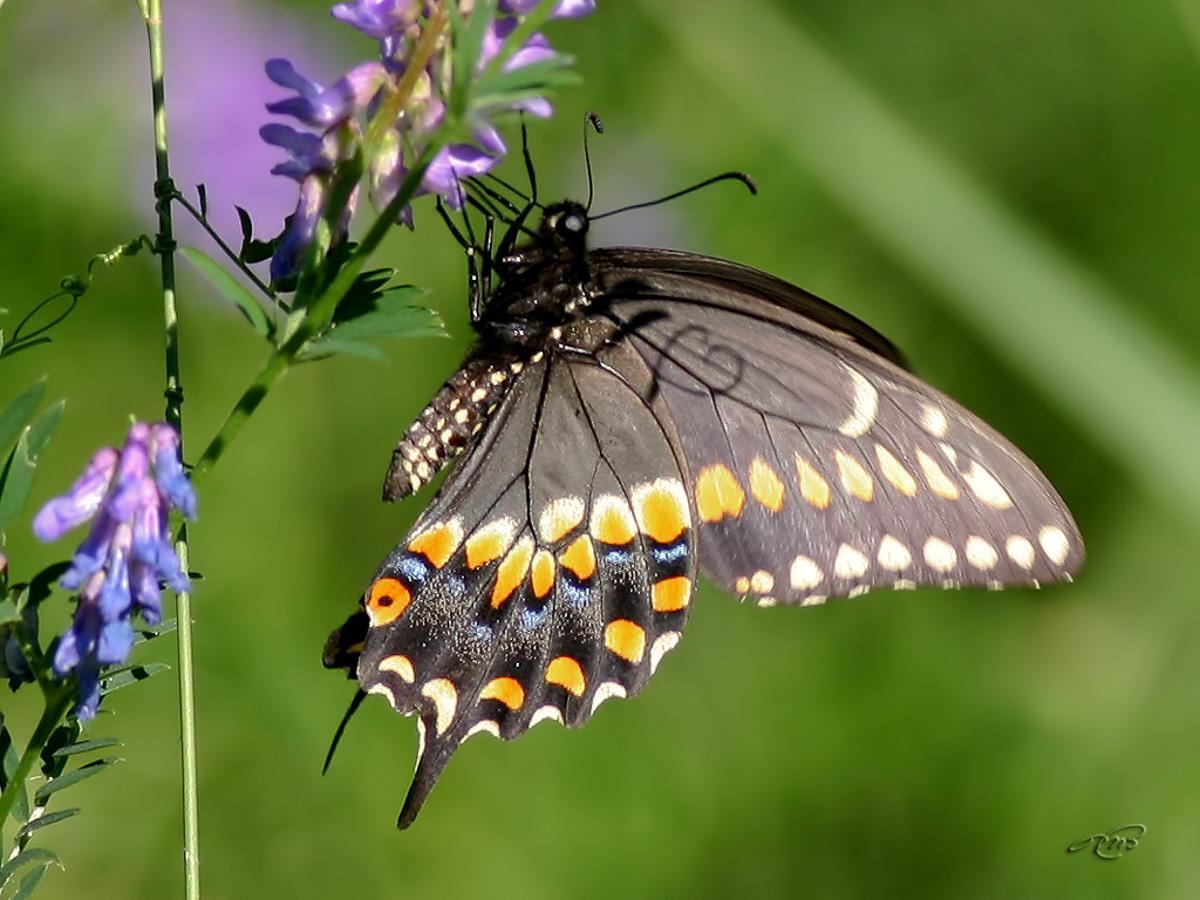 Papillon du céleri 6747