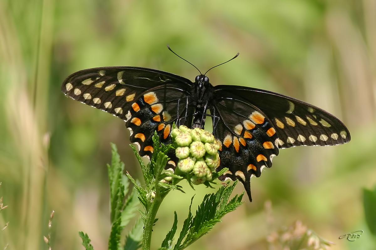 Papillon du céleri 6839