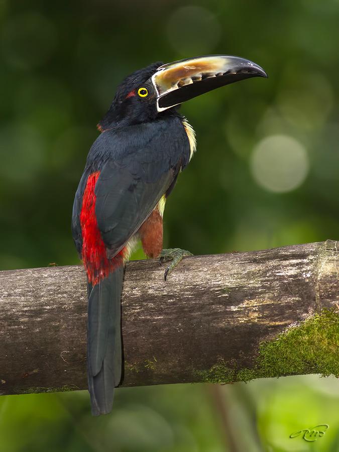 Aracari à collier 5937