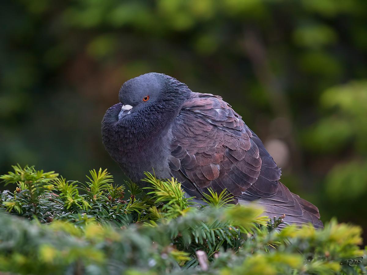 Pigeon biset 2439