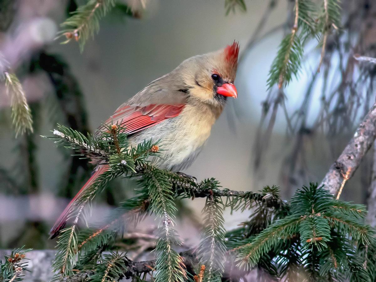 Cardinal rouge 9347