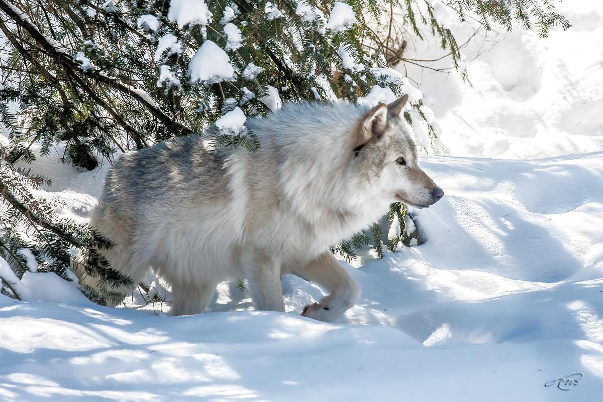 Loup artique 5854