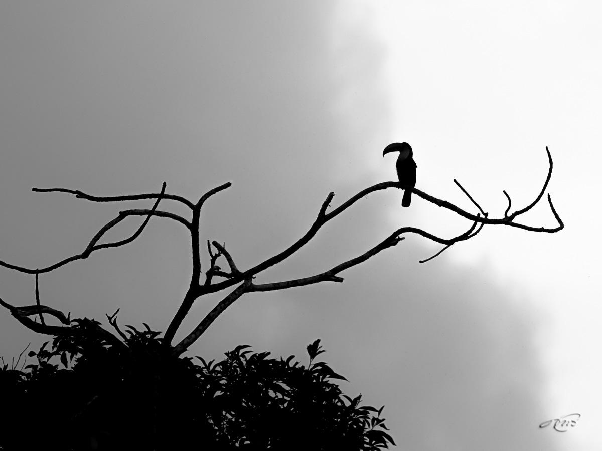 Toucan à carêne 2990