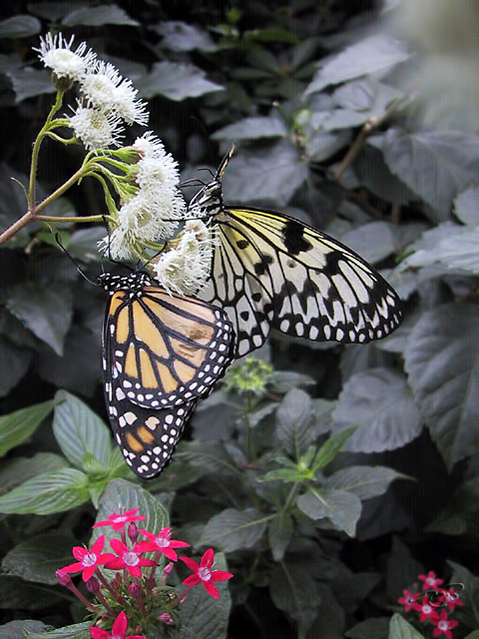 Papillon 5593