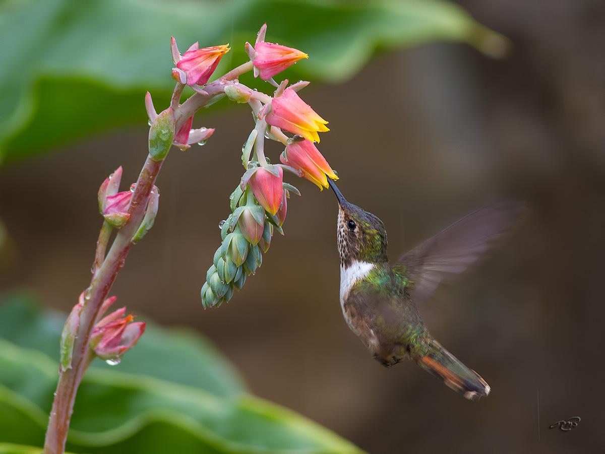 Colibri scintillant 3662
