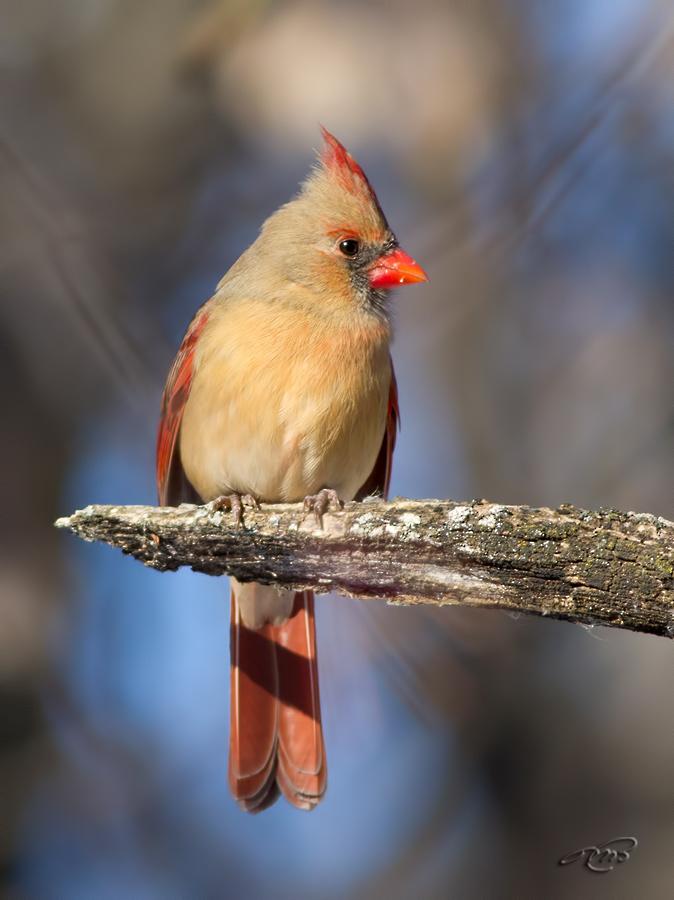 Cardinal rouge 0096