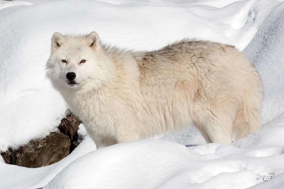 Loup artique 6103