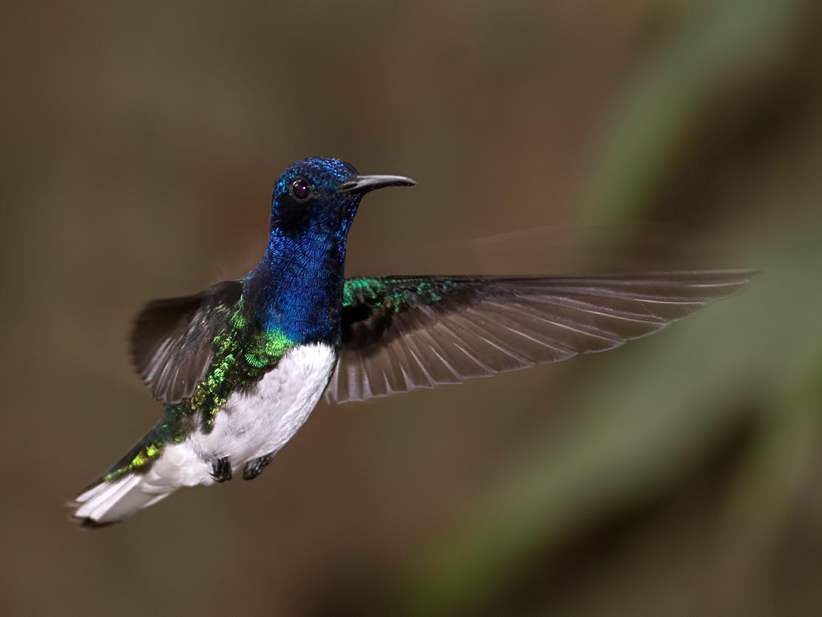 Colibri jacobin 1416