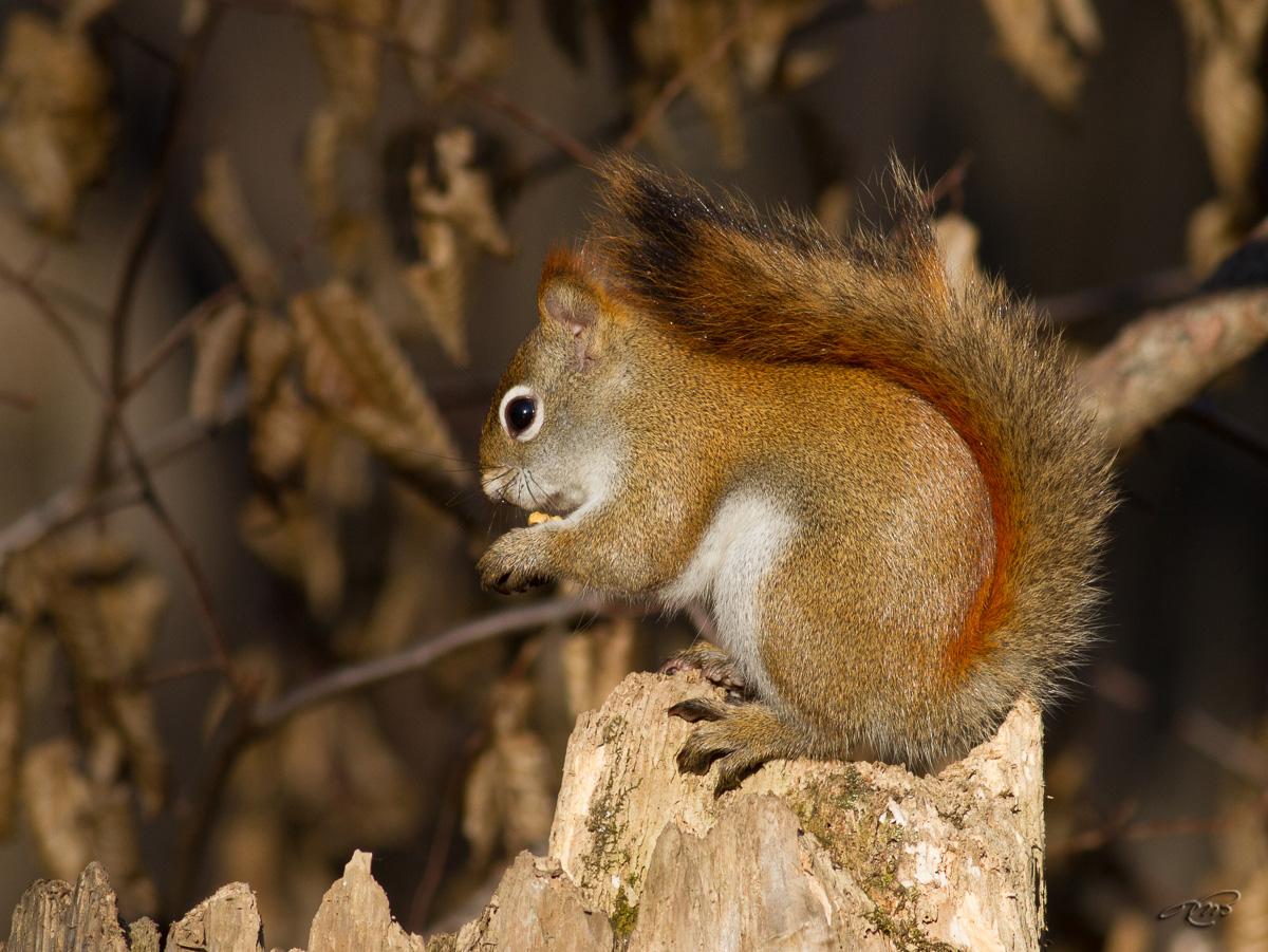 Écureuil roux 8051