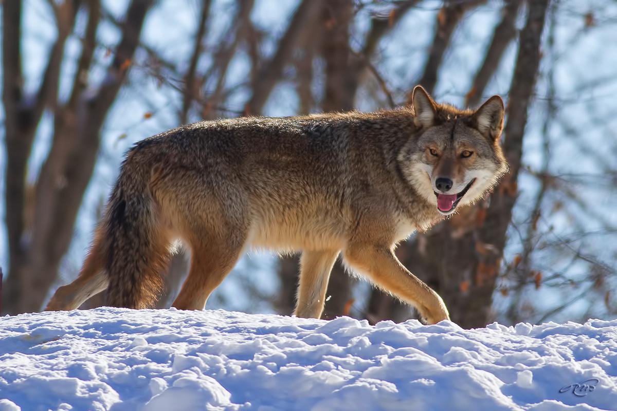 Coyote 0695