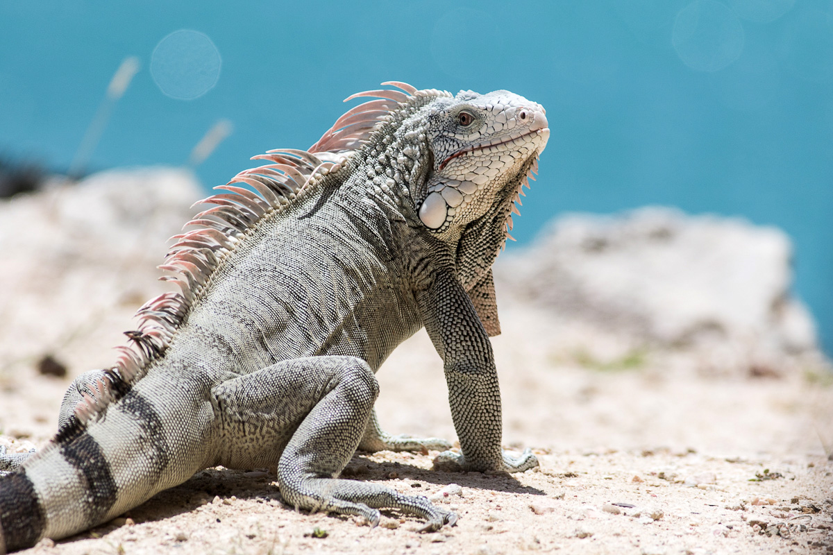 Iguane 0884