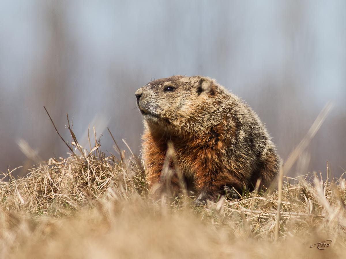 Marmotte 6895