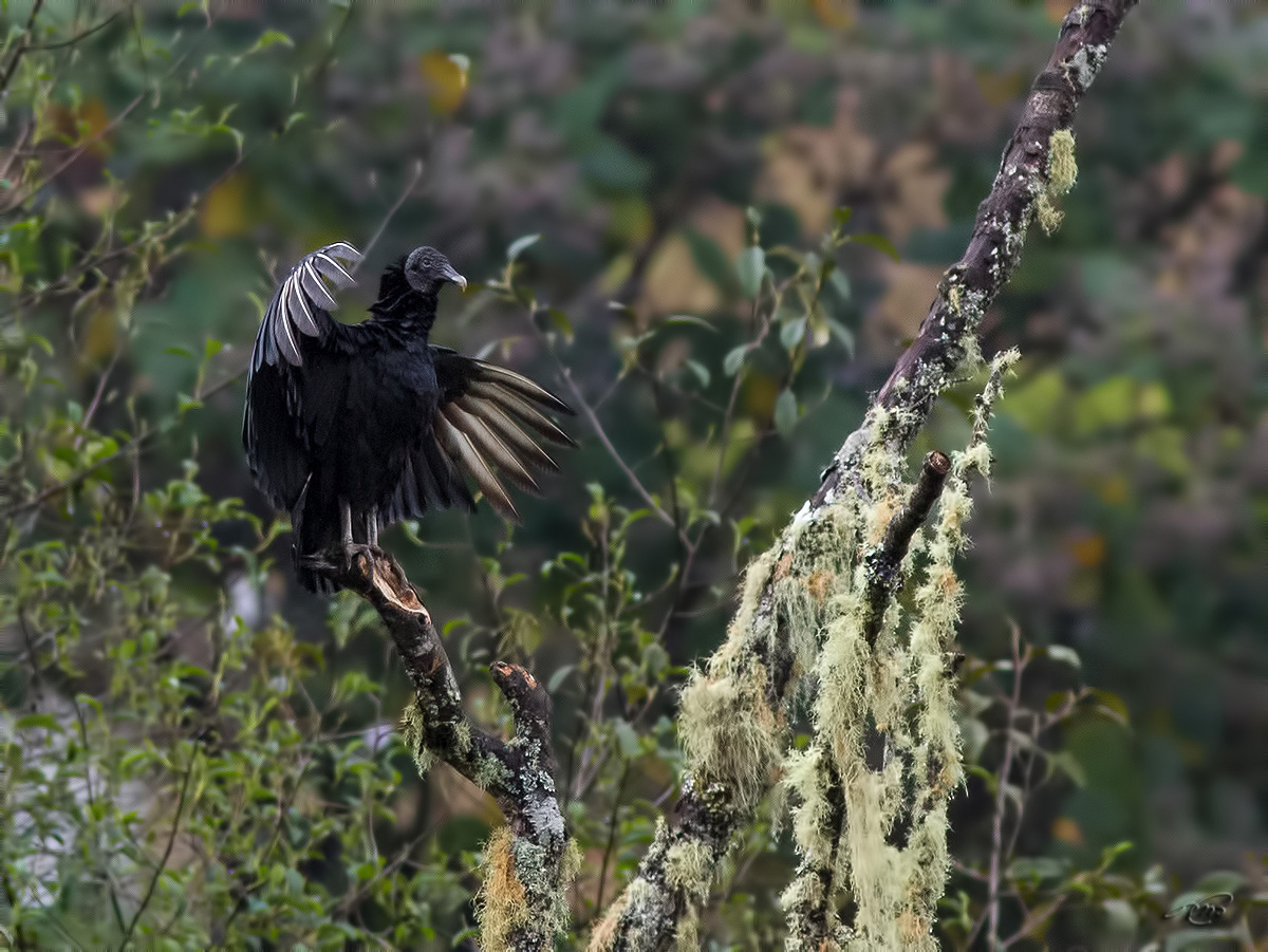 Urubu noir 3715