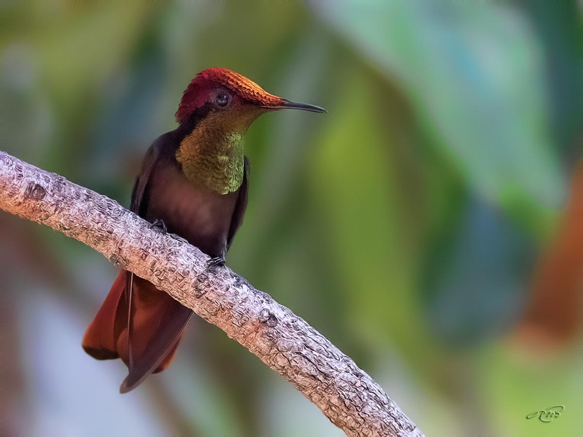 colibri rubis-topaze-1I5A7949