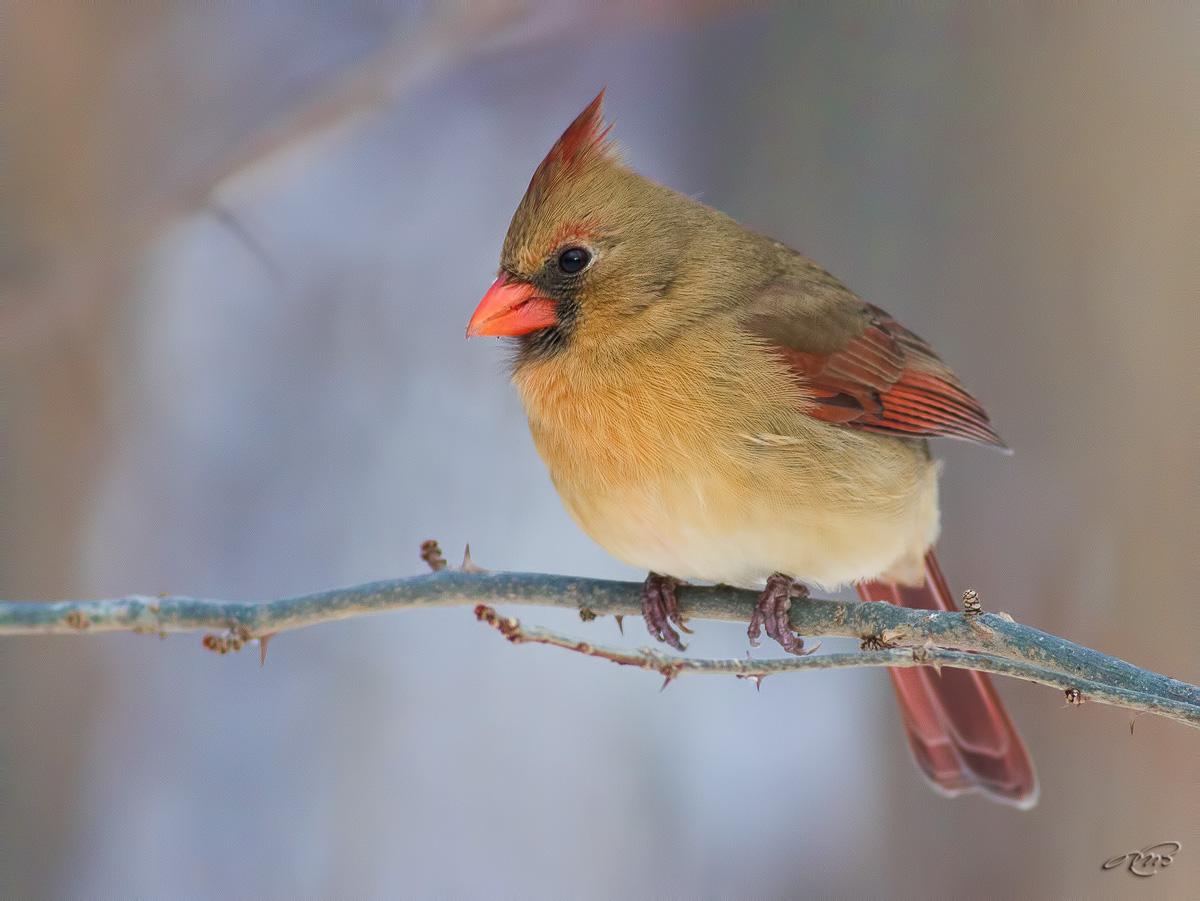 Cardinal rouge 7939