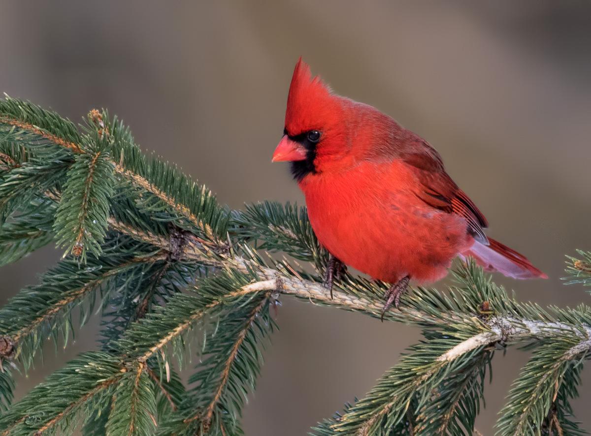 Cardinal rouge 9299