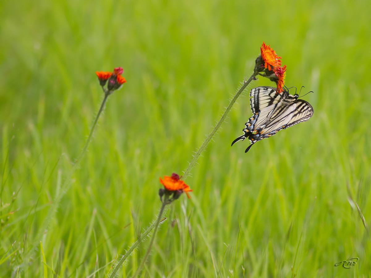 Papillon tigré du Canada 2068