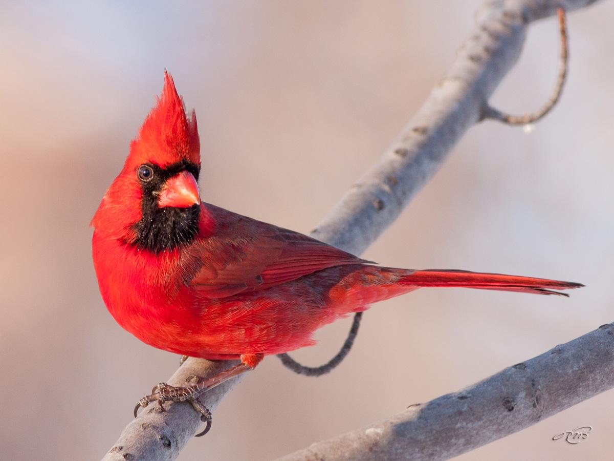 Cardinal rouge 7273