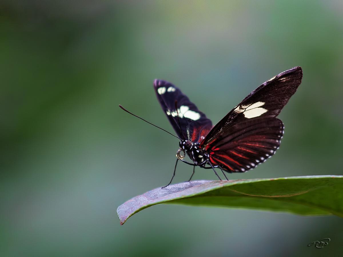 Papillon 3203
