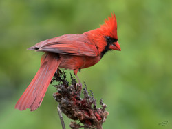 cardinal rouge-1I5A3521
