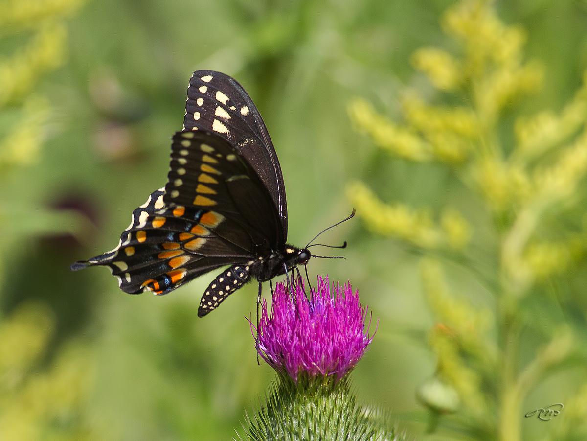 Papillon du céleri 4004
