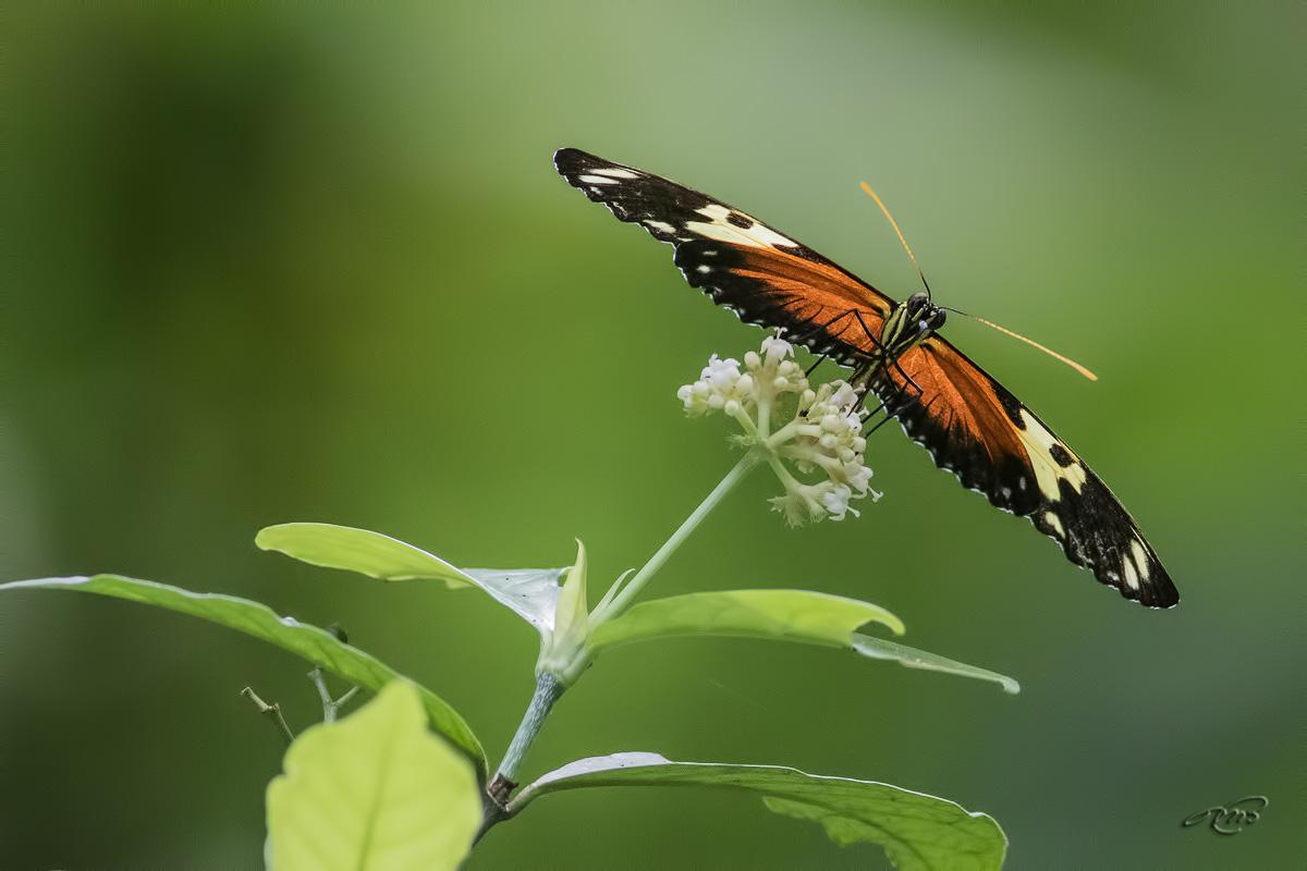 Papillon 1722