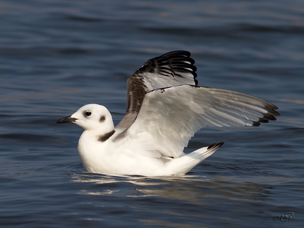 Mouette tridactyle 1200